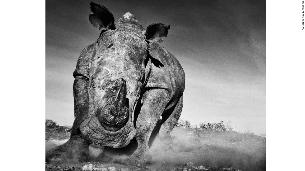 Yarrow captured this charging rhino by covering his camera casing in the rhino's feces and using a remote-controlled shutter.