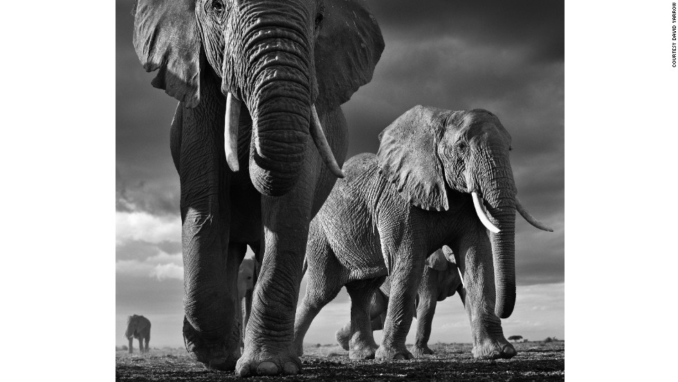 "David Yarrow's most recent wildlife photographs can be seen in his new book, <em>Encounter</em>. ""Amboseli (Kenya) is the best canvas in the world on which to photograph elephants,"" says Yarrow. ""The enormity of elephants can't be conveyed by photographing from a four-wheel drive -- it has to be from the ground."""