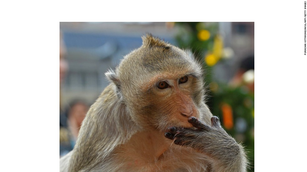 Every year on the last Sunday of November, these monkeys are offered a huge selection of fruits, vegetables and other treats like candy and soda. A word to the wise: don't ever get between a macaque and its lunch.