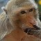 04 Lopburi monkey buffet