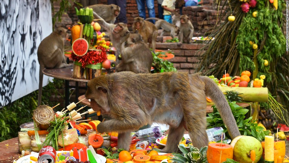 Though the monkeys are quick to indulge in the buffet, unfortunately most of them suffer from a severe lack of table manners.