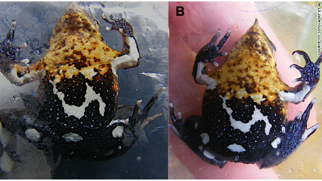 A hyper-aggressive fungus with some changed up DNA is infecting and killing amphibians.