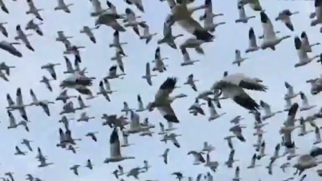 vo newday must see moment geese tsunami_00001927.jpg