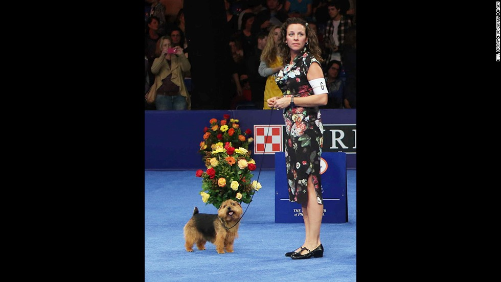 Riley, a Norfolk terrier, won the top prize in the terrier group.