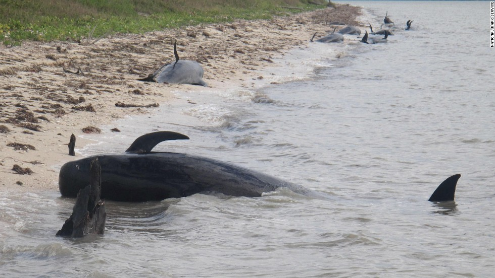Pilot whales are stranded on a beach in a remote area of the western portion of Everglades National Park on Tuesday, December, 3. The marine mammals are known to normally inhabit deep water.