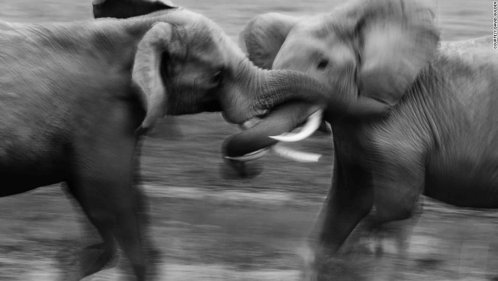 Considered one of the best Africa wildlife photographers, New York native David Gulden has spent the past two decades photographing in Kenya. Here he captures two bull elephants fighting over a female in estrus. Tsavo National Park, Kenya, 2011.