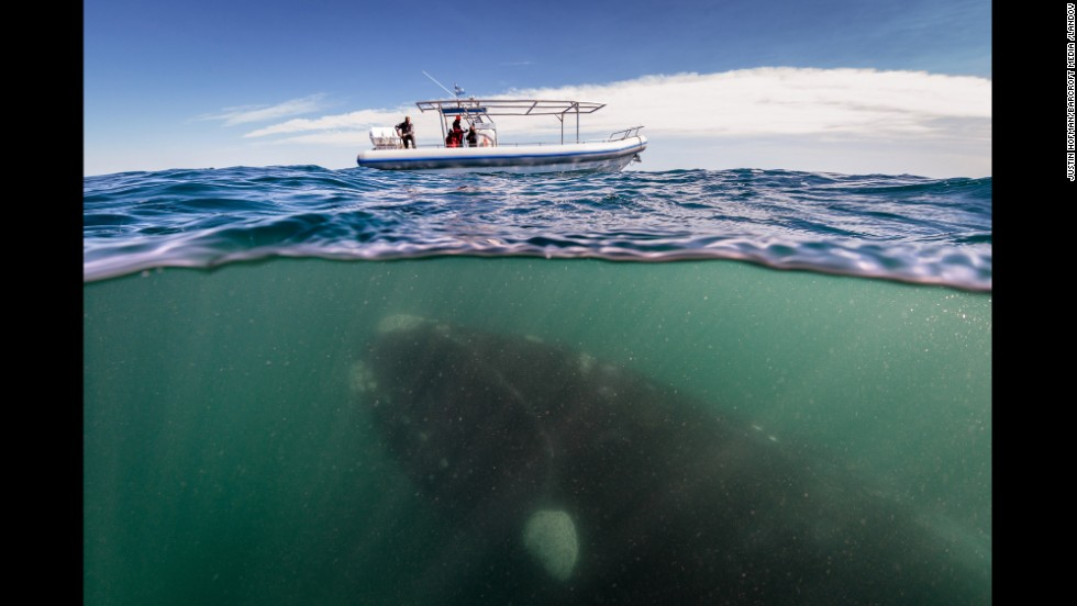 <strong>October 30:</strong> A 50-ton southern right whale swims under a boat in Peninsula Valdez, Argentina.