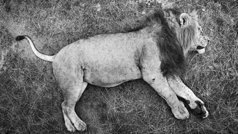 A dominant lion sleeps with a full belly. Rongai River, Masai Mara National Reserve, Kenya, 2011.