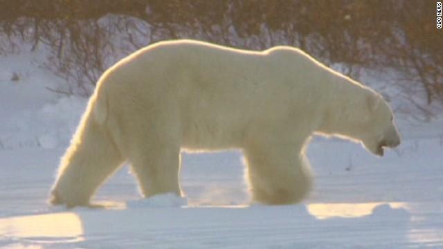 dnt canada polar bear attack_00001130.jpg