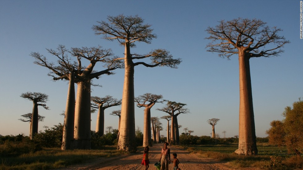 Two dozen of these surreal trees that can grow 20 meters up and 10 meters wide flank a road on the western side of Madagascar. The avenue has become one of Madagascar's most popular attractions.