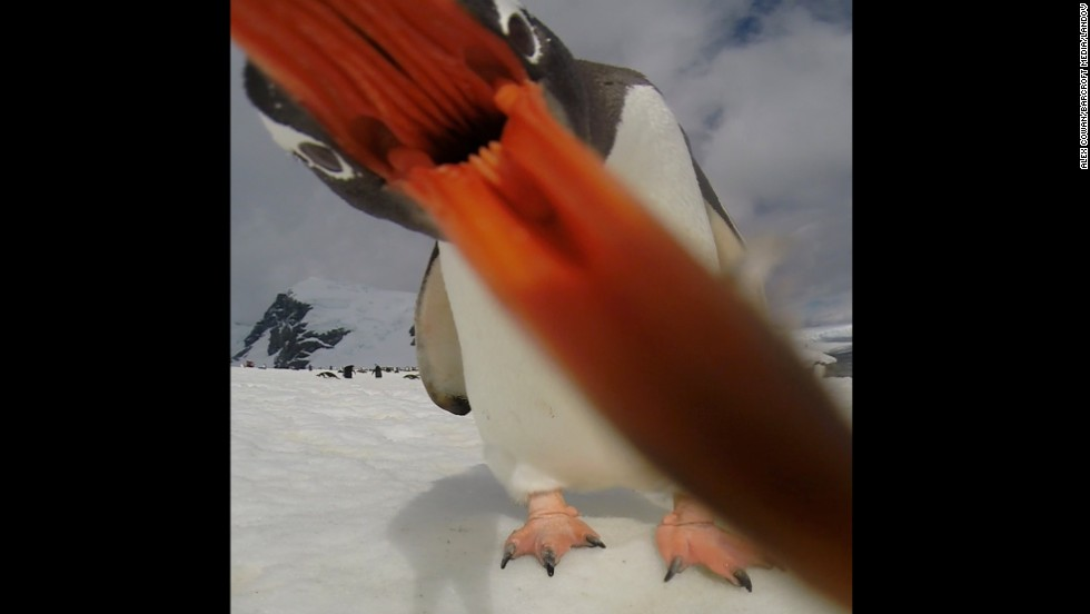 <strong>December 11:</strong>  A Gentoo penguin waddles up to a GoPro camera on Cuverville Island, Antarctica.