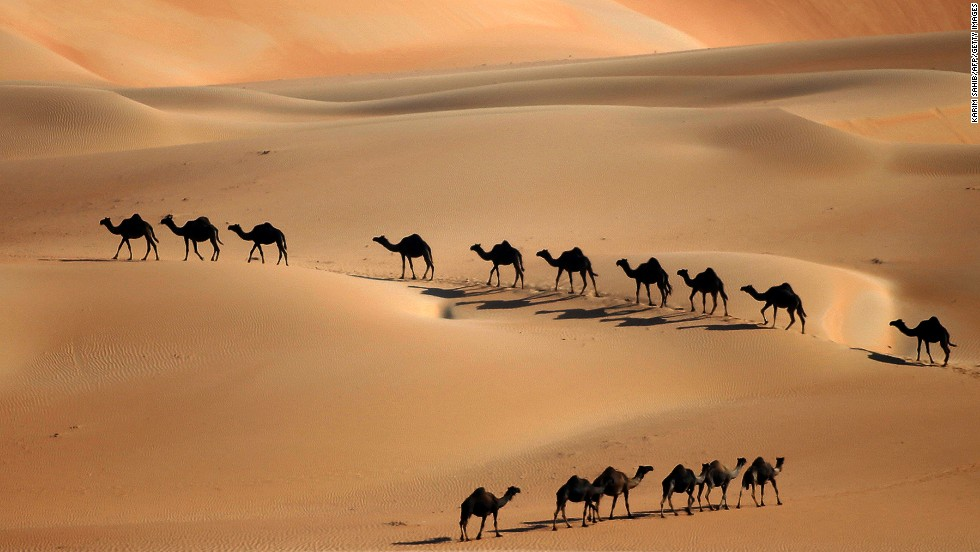 DECEMBER 23 - LIWA DESERT, ABU DHABI: Camels walk along sand dunes as the Mazayin Dhafra Camel Festival takes place on December 22. The festival, which attracts participants from around the Gulf region, includes a camel beauty contest, a display of UAE handcrafts and other activities aimed at promoting the country's folklore.