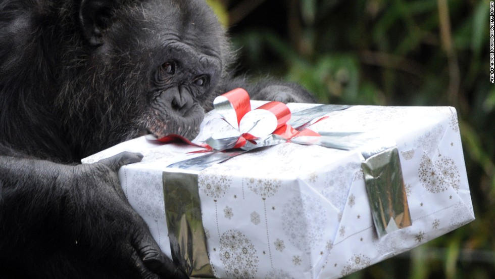 A chimpanzee opens a package filled with treats at a zoo in La Fleche, France, on December 23.