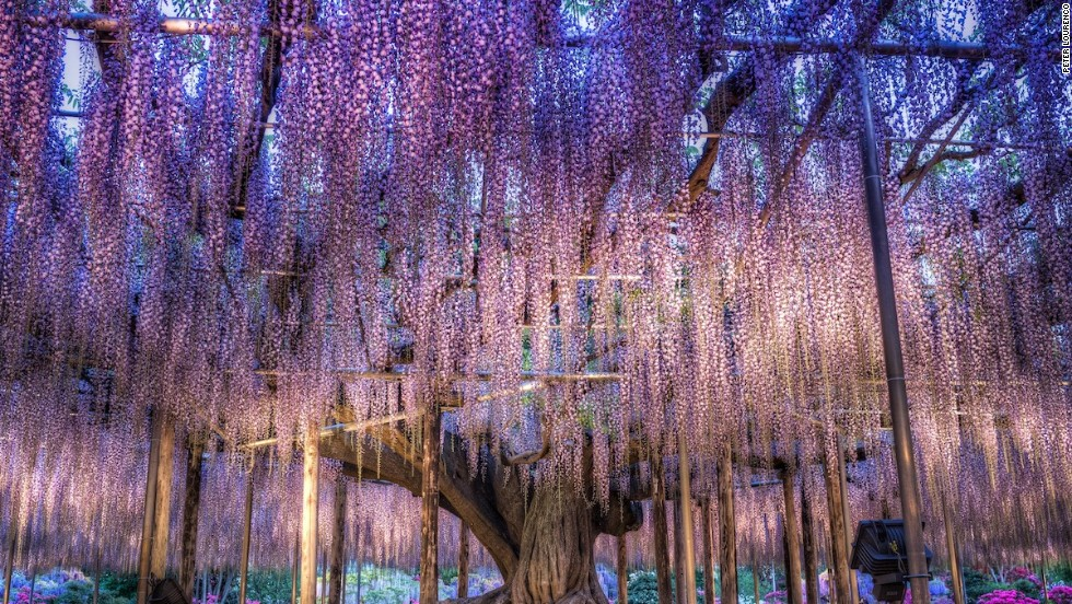 "Inspiration for Avatar's 'Tree of Souls'? Eighty kilometers from <a href=""http://travel.cnn.com/tokyo"">Tokyo</a>. the Ashikaga Flower Garden features this incredible 143-year-old wisteria tree."