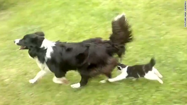 orig distraction cat harasses border collie_00001001.jpg