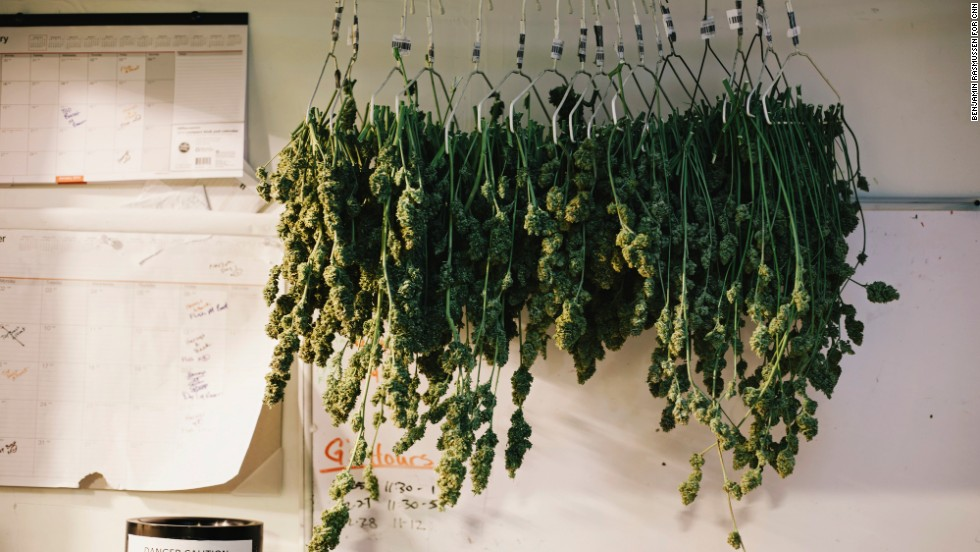Marijuana dries next to a harvest calendar in the grow room of the LoDo Wellness Center.