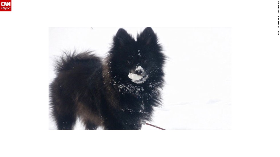 "<a href=""https://twitter.com/Bremanie/status/419532515074789376"" target=""_blank"">Stephanie Bremenour's </a>pomeranian, Dundie, is really specific when it comes to what kind of snow he will play in. ""He only likes to walk in the fresh snow on his walks. The deeper the snow, the better! As you can see from the picture, he also loves to eat snow,"" the Michigan resident said."