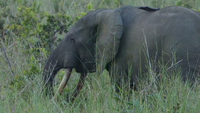 Chasing elephant poachers in Congo