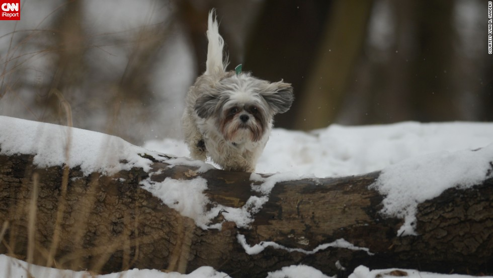 "<a href=""http://ireport.cnn.com/docs/DOC-1072930"">Evan Sanders</a> shot this photo of his girlfriend's dog, Valentino, a shih tzu mix, romping in the snow while they hiked the trails in Pittsburgh's Emerald Park Sunday."