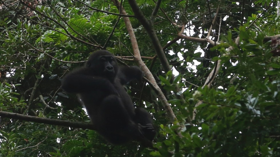 The number of Western Lowland Gorillas was unknown until a recent discovery of a population in the northern part of the Republic of Congo. Estimates are that some 125,000 remain in the wild.