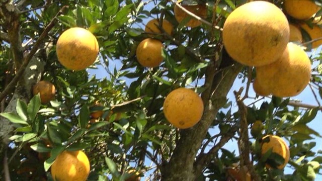 Florida farmers fear crop freeze