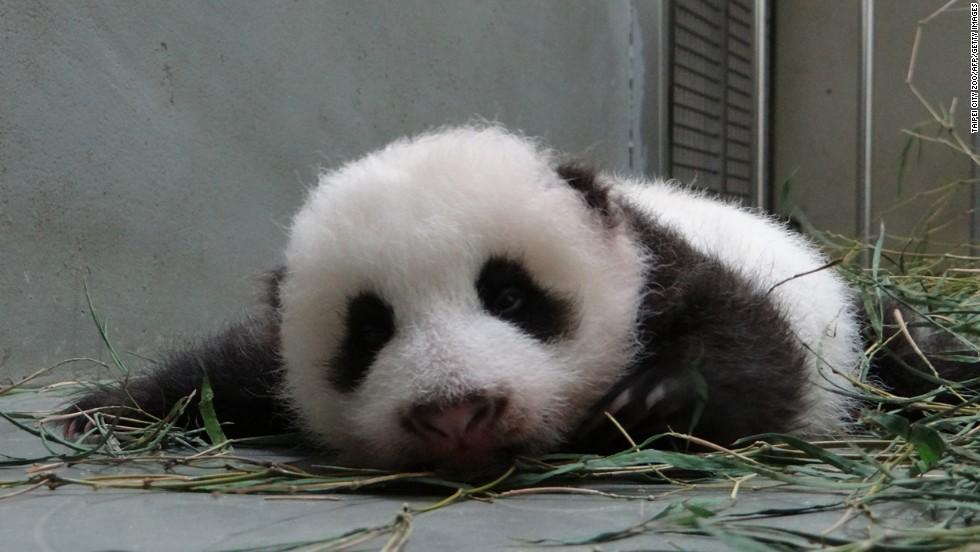 """Yuan Zai can mean """"rice ball"""" or """"child of Yuan Yuan."""""""