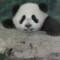 taiwan panda debut-4