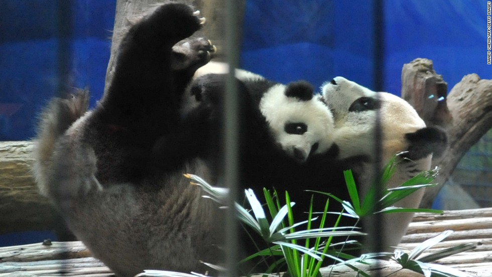 Hundreds of people watched Yuan Zai fall asleep with her mother.