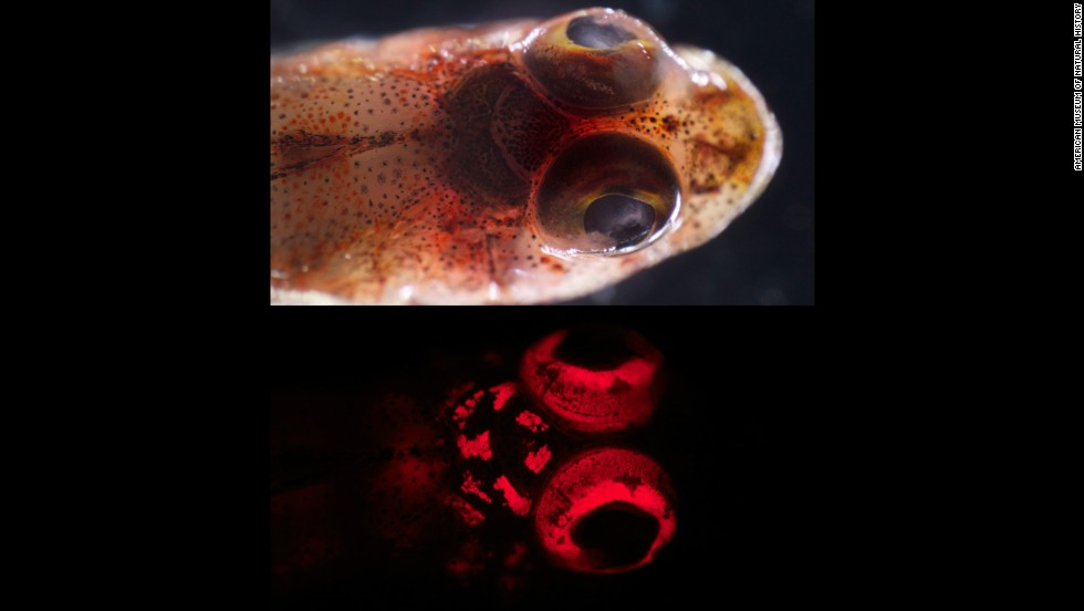 A triplefin blenny (Enneapterygius sp.) under white light, above, and blue light, below.