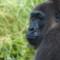 Nyango - Cross River Gorilla