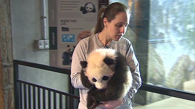 ac baby panda_00010910.jpg