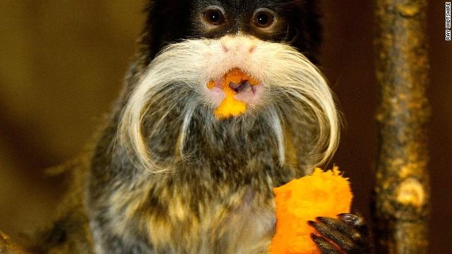 Emperor tamarin monkey eats a banana.