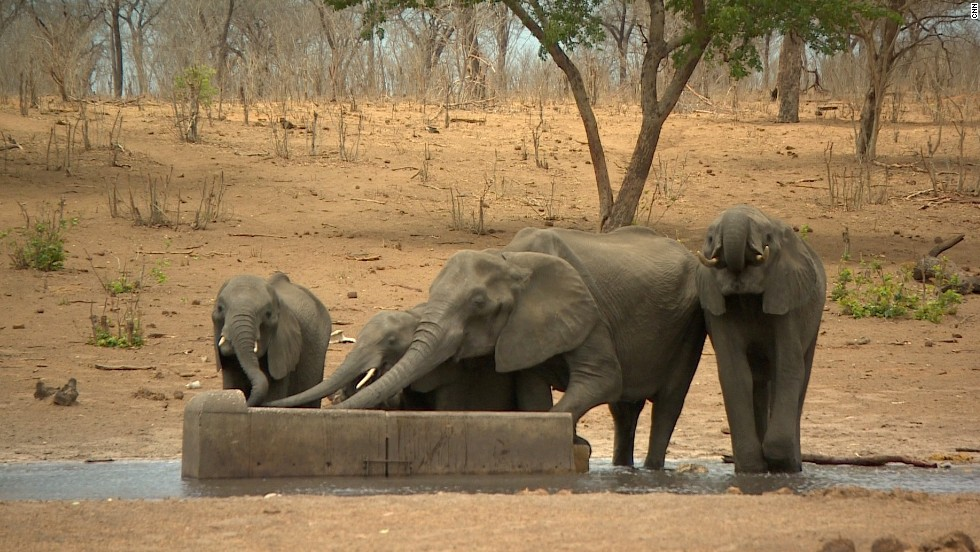 Botswana is the last stronghold for African elephants, hosting about 130,000 of the majestic mammals.