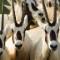 bani yas oryx