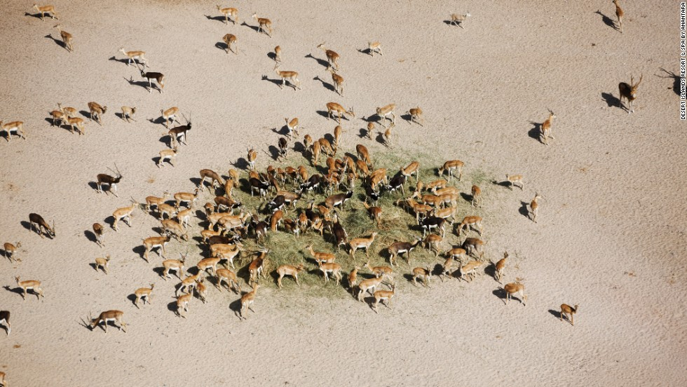 Some species, such as the Arabian sand gazelle, liked Sir Bani Yas so much they over-bred.