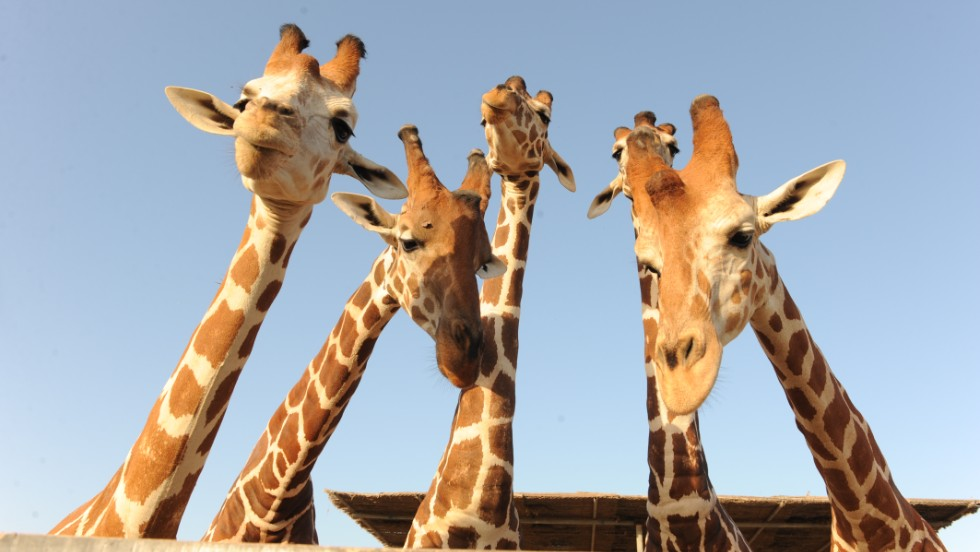 Giraffes are among the more conventional menagerie members on the island.