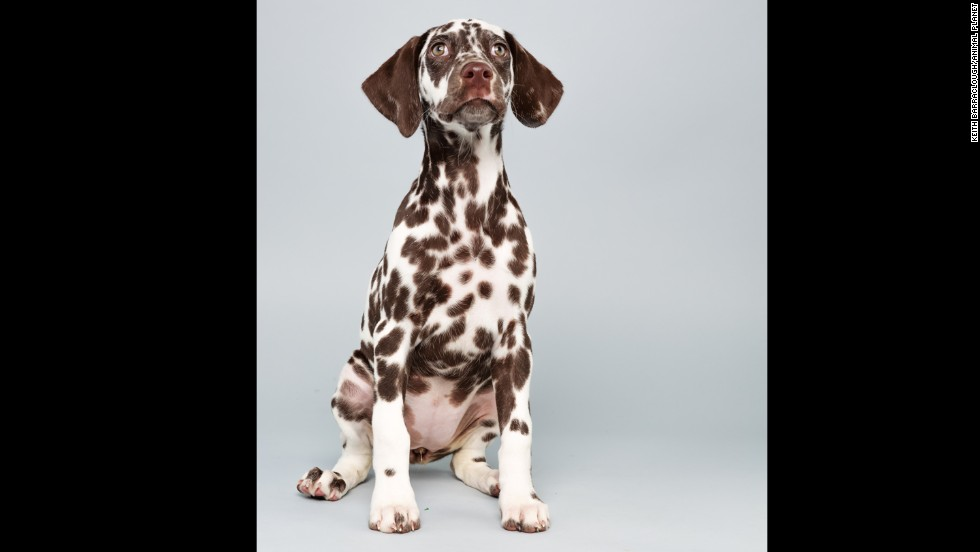 <strong>Name: </strong>Aurora.  <strong>Age: </strong>12 weeks.  <strong>Breed: </strong>Dalmatian.