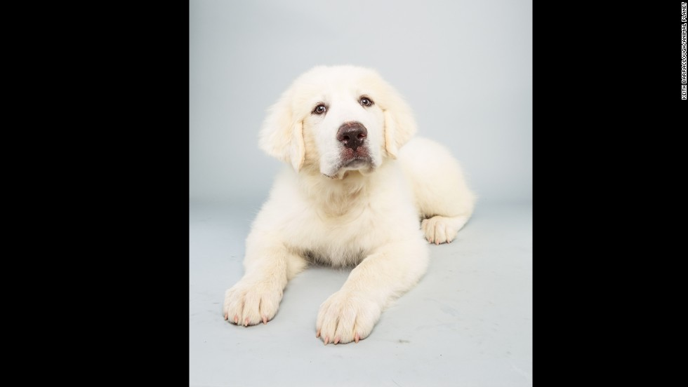 <strong>Name:</strong> Shyla. <strong>Age:</strong> 14 weeks. <strong>Breed: </strong>Great Pyrenees.