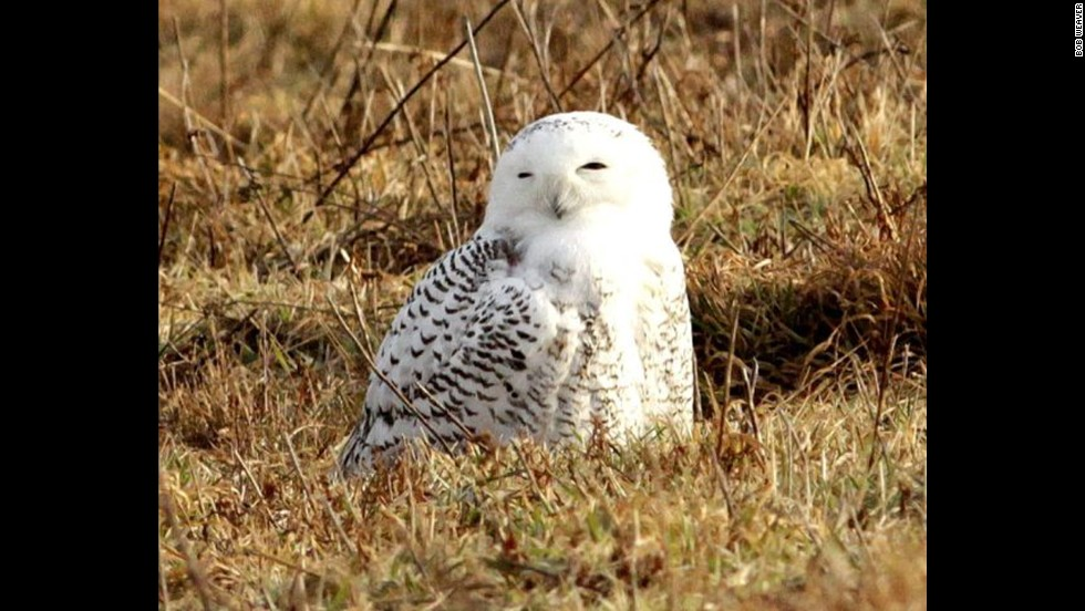 Learn more about the secretive Snowy Owl at a Norman Bird Sanctuary guided bird walk.