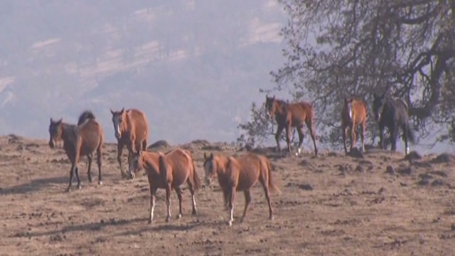 California's drought hurting its horses