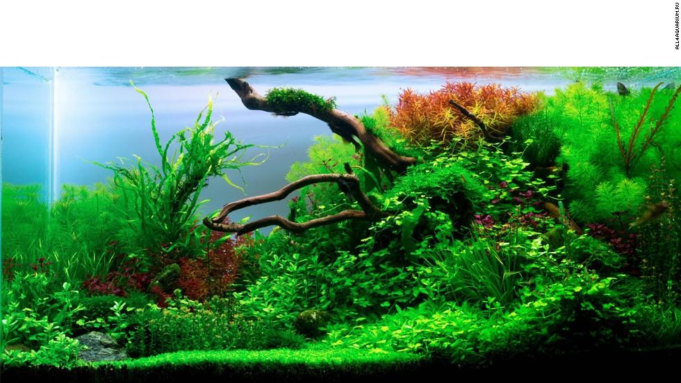Moss Carpet Aquascape - Carpet Vidalondon
