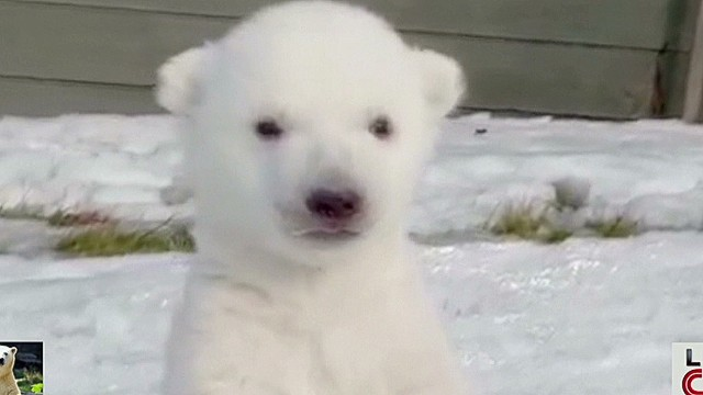 newday polar bear cub sees snow first time tell_00001319.jpg