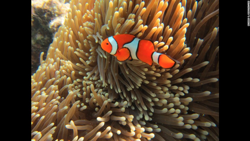"A clownfish swims in the Great Barrier Reef, a diverse ecosystem stretching 2,300 kilometers (1,429 miles) along the Queensland coast of Australia. A plan has been approved by the Australian government to dump 3 million cubic meters of dredge spoil in the Great Barrier Reef Marine Park. The proposal gained final approval by the Great Barrier Reef Marine Park Authority and is subject to ""strict conditions."""