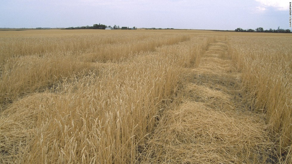 A number of countries have questioned the potential benefits of GM crops. Here, GM wheat fields grow in Saskatchewan, Canada.