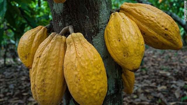 (FILES) - A photo taken on August 7, 2013 shows cocoa pods on a tree in a farm in Sao Felix do Xingu, Para state, northern Brazil. AFP PHOTO / YASUYOSHI CHIYASUYOSHI CHIBA/AFP/Getty Images