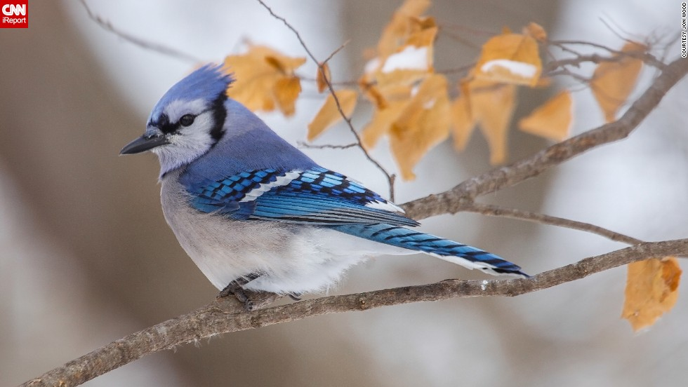 "There's no denying it: This winter has been brutal. But looking at this little guy, you'd hardly know it. <a href=""http://ireport.cnn.com/docs/DOC-1070543"">iReporter Jon Wood took this shot</a> of a bluejay in Camden State Park in Lynd, Minnesota."