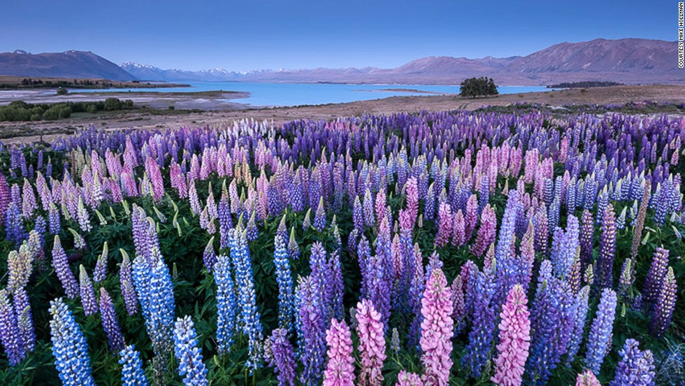 The best time to see the lupins is the first two weeks of December, says Hollman.