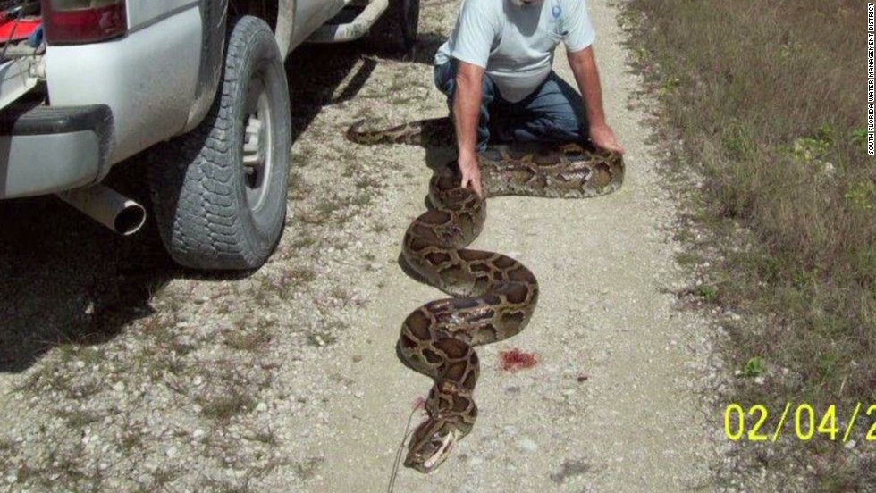 49 Foot Python 18-foot Python Found in