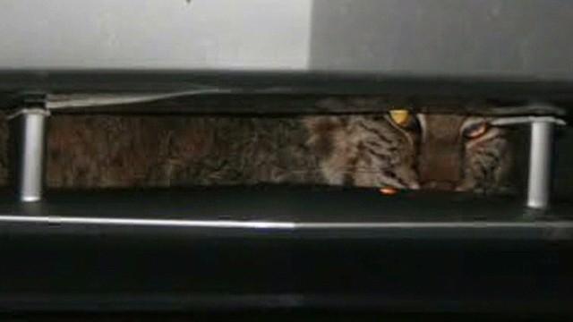 tn dnt bobcat gets stuck in car grill _00005319.jpg