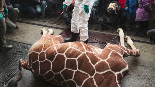 Zoo puts down healthy giraffe